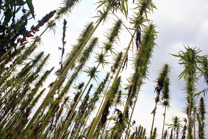 Oregon Hemp: New Rules Advance the Ball
