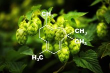 Cannabis and Humulus: A Family Reunion
