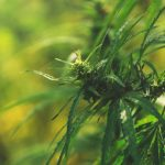 Industrial Hemp: Don't Forget About State Law!